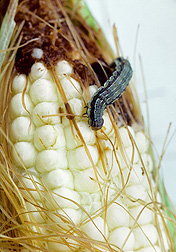 Photo: Corn earworm on corn stalk (Helicoverpa zea). Link to photo information