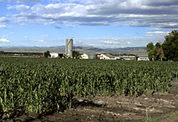 Photo: Corn field with farm buildings in the background. Link to photo information