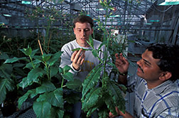 Molecular biologists examine plant damaged by tobacco mosaic virus. Click here for full photo caption.
