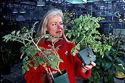 Technician compares healthy tomato plant with infected one. Click here for full photo caption.