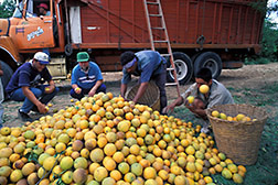 Mexican citrus growers oversee culling of oranges bound of a juice plant. Click here for full photo caption.