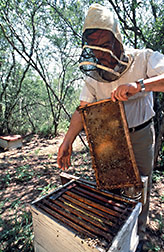 Mexican beekeeper Jose Santos Rodriquez checks his hives. Click here for full photo caption.