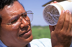 Entomologist Jesus Vargas releases parasitic wasps in a cotton field. Click here for full photo caption.
