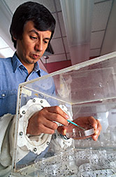 Entomologist Juan Morales-Ramos checks on the health of adults wasps. Click here for full photo caption.