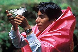Manuel Giron holds a plastic bag containing weevil-infested floral buds. Click here for full photo caption.