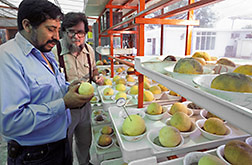 Entomologist Donald Thomas checks grapefruit for holes made by Mexican fruit fly maggots. Click here for full photo caption.