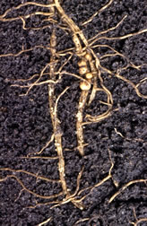 The bodies of female soybean cyst nematodes feeding in plant roots