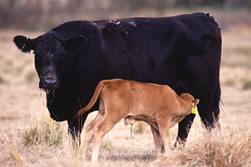 Angus surrogate mother nurses her Romosinuano calf.