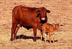 Senopol surrogate mother with Romosinuano calf.
