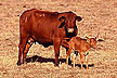 Romosinuano embryo transfer calf