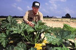 Entomologist Sam Pair inspects squash plants for cucumber beetles and squash bugs