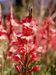Watsonia, a common bulbous herb
