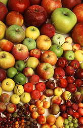 Photo: Apples in the ARS germplasm collection at Geneva, New York, vary widely in size, shape, and color. Link to photo information