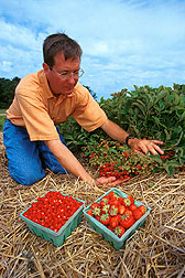 Geneticist Stan Hokanson displays wild strawberries.