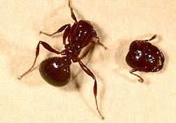 "Fire ant ""beheaded"" by phorid fly enzyme: Link to photo information"