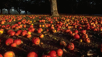 Photo of fallen apples around a tree.