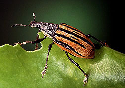 Photo of a citrus root weevil, a pest controlled by nematodes.