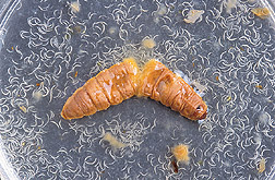 Photo of a nematodes bursting out of dead wax moth larva.