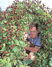 Photo of Chad Finn looking at a berry bush.