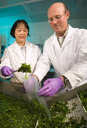 Photo: Food technologist and plant pathologist collect a sample of sanitized fresh-cut cilantro from a produce washer. Link to photo information
