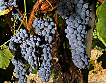 Photo: Clusters of Thomcord seedless grapes. Link to photo information