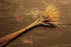 Espigas y tallos de trigo rodeados de pilas pequeñas de tipos diferentes de granos de trigo. Enlace a la información en inglés sobre la foto