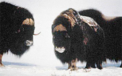 Two muskox