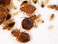 Adult and immature bed bugs.