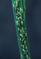 Russian wheat aphids.