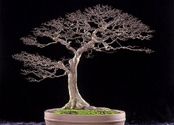 Bonsai specimen from the U.S. National Arboretum