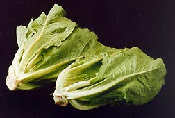 Romaine lettuce - Image courtesy Trikaya Agriculture Pvt. Ltd.