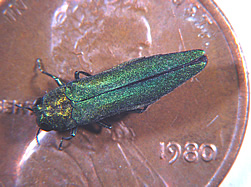 Emerald Ash Borer on American penny