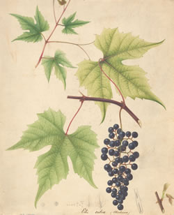 Super slurper might be used to salvage irreplaceable paper manuscripts and works, such as this watercolor of a Vitis rubra (Michaux) grape. Link to larger version.