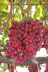 Sweet Scarlet grapes.