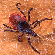 Blacklegged tick. Link to photo information