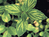 Leaves of mint plant infected by viruses