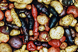 Primitive colorful tubers from Chile
