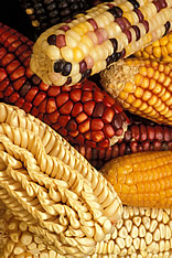 Latin American maize having kernels of unusual color or shape. Link to photo information