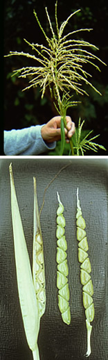 Tassel and ears of teosinte.