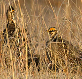 Male lesser prairie chickens. Link to photo information