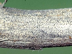 Close-up of soybean stem showing the sclerotia of the charcoal rot pathogen.