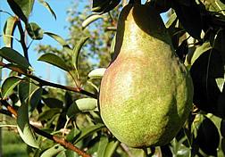 Shenandoah pear.