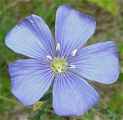 Flower of common flax