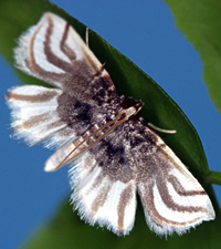 Adult Lygodium spider moth