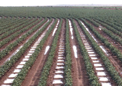 Furrow dikes in cotton field.