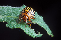 Adult Colorado potato beetle dining on a potato leaf. Link to photo information