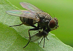 Hunter fly grasps a fungus gnat.