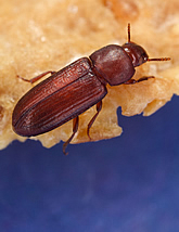 Red flour beetle on a cereal flake. Link to photo information