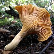 Edible chanterelle mushroom