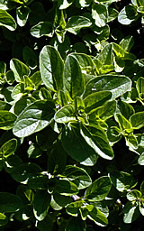 Oregano foliage